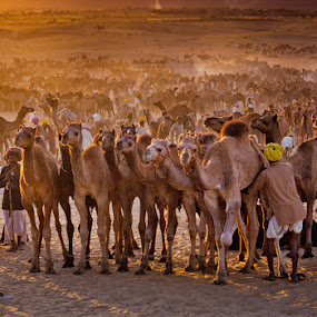 Camel fair by Roberto Nencini - Animals Other