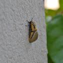 Hieroglyphic Moth