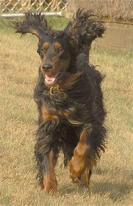 Jean Plummer Setter Buy Irish Setter In Nc Bump On Irish Setter S Head