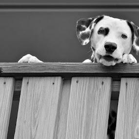 Dalmatian by Miren Etcheverry - Animals - Dogs Portraits ( pet, dalmation, dog, portrait, animal,  )