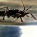 Masked Hunter (Assassin Bug)