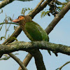 Brown Headed Barbet
