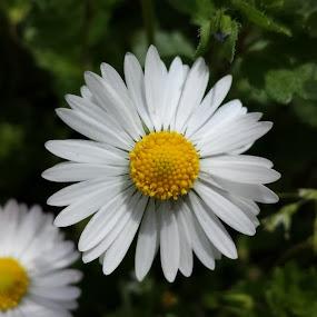 Cammomile by Aleksa Stankovic - Flowers Flowers in the Wild ( flower )