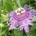 Maypop (Passionflower)