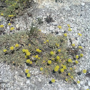 Granite Mousetail