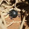 Long-legged Darkling Beetle