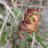 White-Topped Pitcher Plant (bloom)