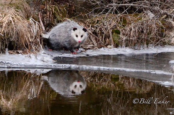 Virginia Opossum | Project Noah