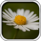 Flowers - Changing Wallpaper icon