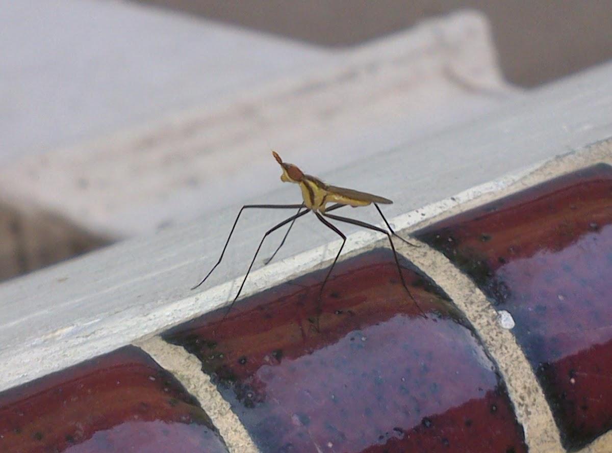 Banana Stalk Fly (♂)