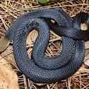 Marsh Snake