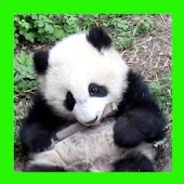 Free Download Pandas. Animals Puzzles APK for Samsung
