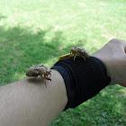 Cicada carapaces