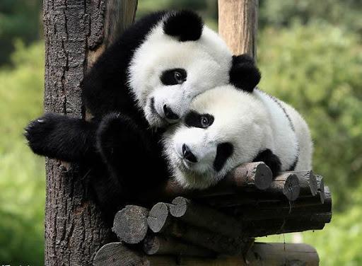 Cute Pandas Wallpaper Puzzle