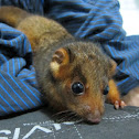 Rescued Joey - Common Ringtail Possum