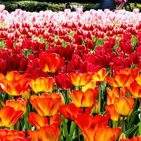 Waves of Tulips by Lenny Sharp - Flowers Flower Gardens ( japan, flower show, blooms, bulbs, tulips, yokohama )