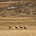 Tibetan gazelle