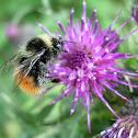 Abejorro. Bumblebee