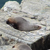 New Zealand Fur Seal / Kekeno