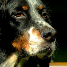 Radar  by Sydney Badeau - Animals - Dogs Portraits ( white, setter, brown, dog, black, outside )