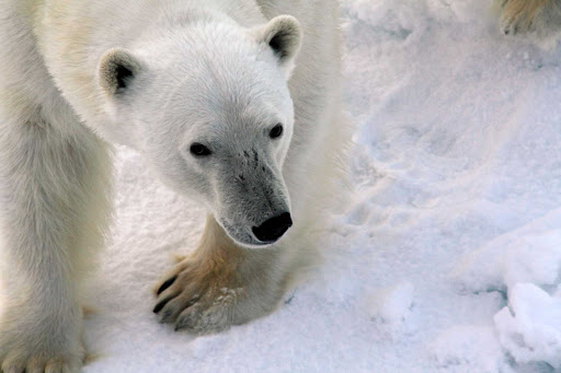 A closeup of a curious polar bear during a G Adventures voyage to the Arctic aboard the cruise ship Expedition.