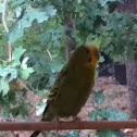 Parakeet/Budgerigar
