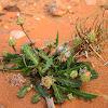 Poppy-Leaved Reichardia, False sowthistle, Bitter herbs