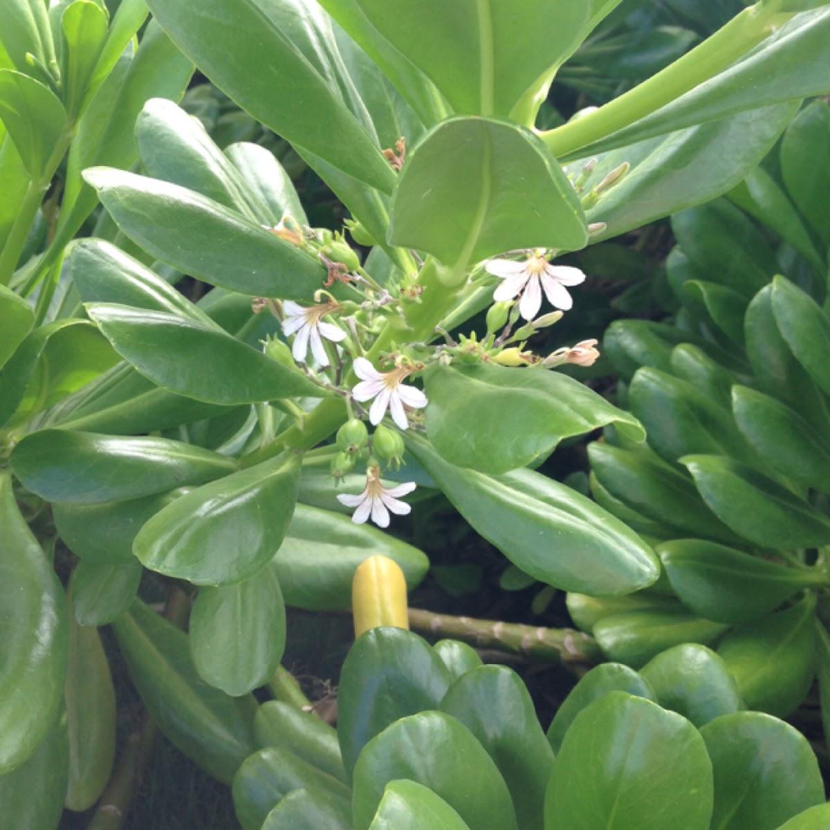 Naupaka (fan flower, half-flower)