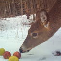 Northern White-tailed Deer