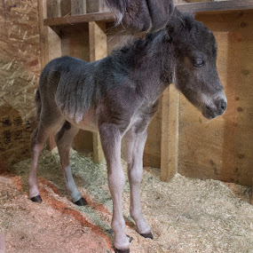 Recently born by Gerard Toney - Animals Horses ( miniature horse, colt, horse, animal, foal )