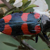 Kershaw's jewel beetle