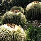 Barrel Cactus