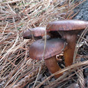 Meadow muffin mushroom