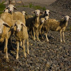 sheep by Vj Lie - Animals Other ( sheep, vj lie )