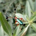 Long-horned beetle.