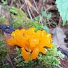 Dacrymyces palmatus