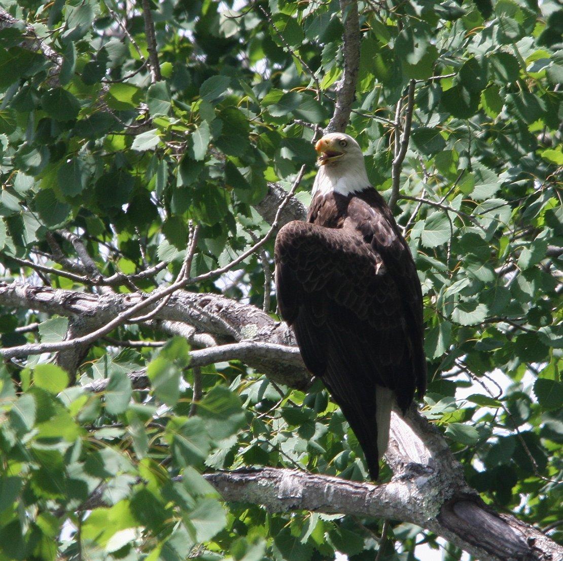 hot Bald Eagle