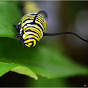 Monarch catterpillar