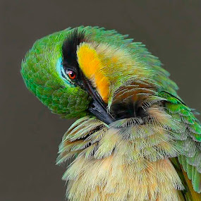 Little Bee Eater by Chris Krog - Animals Birds ( bee, eater )