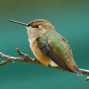 Rufus Hummingbird by Sheldon Bilsker - Animals Birds ( bird, hummingbird, animal )