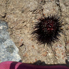 Sea urchin black