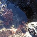 Ochre Sea Star
