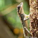 Painted-lipped lizard