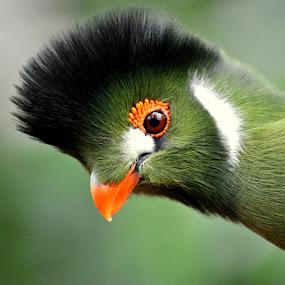 Tropical bird by Paula NoGuerra - Animals Birds ( nature, green, witwang toerako, tropical birds,  )