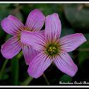pink sorrel
