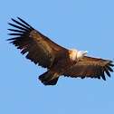 Griffon vulture, buitre leonado
