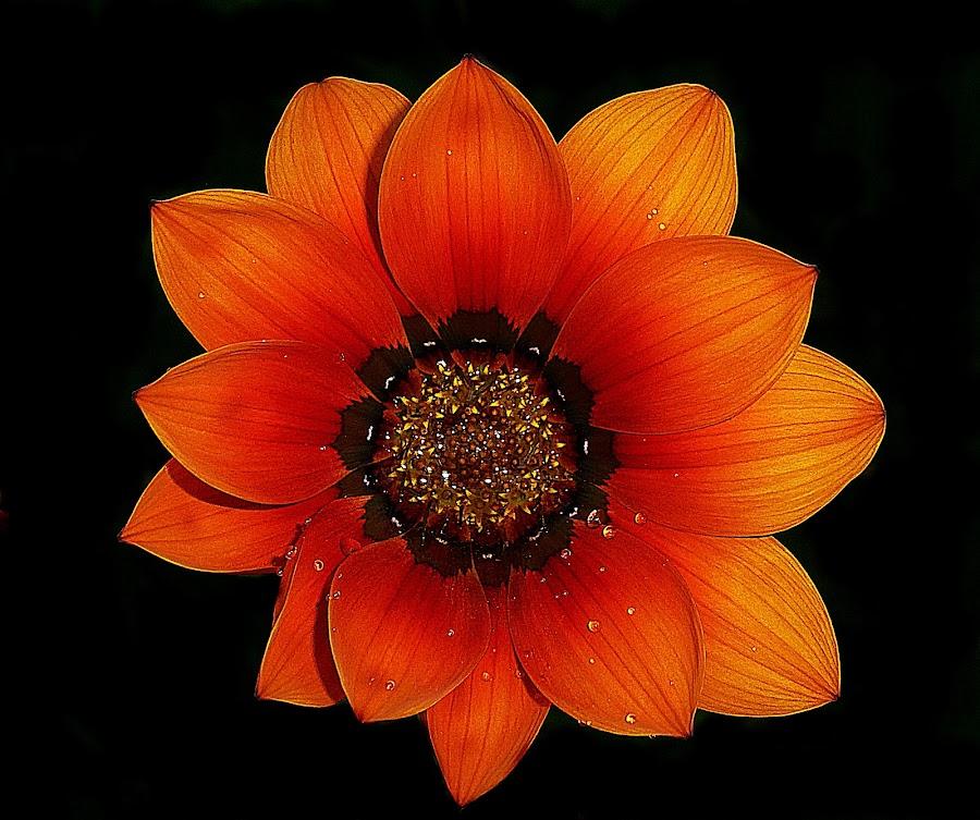 Orange Blossom by Vanalapha Chuasritrakul - Flowers Single Flower
