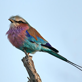 Lilac-Breasted Roller by Pieter J de Villiers - Animals Birds ( rollers, animals, lilac-breasted roller, birds, mapungubwe game reserve,  )
