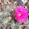 Nichols Turkshead Cactus
