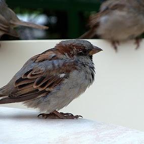 Sparrow by Vlad Zugravel - Animals Birds ( bird, animals, stock, close up, sparrow )